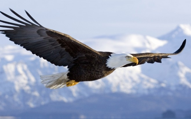EAGLE bald-eagle-wallpapers-flight