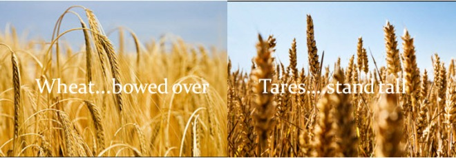 wheat-and-tares4